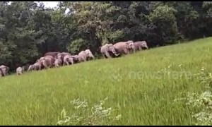 Gang of 100 elephants raid Indian village looking for food