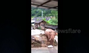 Thieving wild elephant steals rice from house in Chinese village