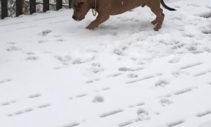 Pitbull Puppy Plays in Snow for First Time