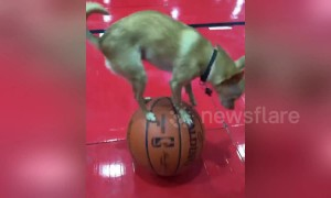 Adorable dog performs cute balancing act on basketballs