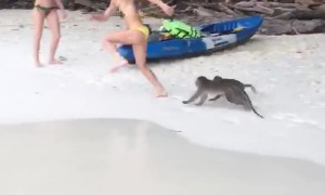 Monkeys Chase Woman on Beach