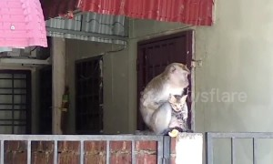 Touching moment wild monkey grooms tiny kitten