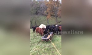 Kentucky farmer has ingenious way to round up his cows