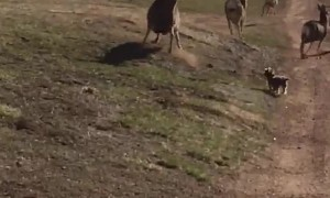 Puppy adorably chases away herd of deer