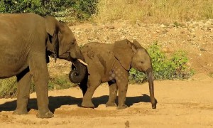 Young elephant pranks older brother by stealing from his watering hole