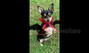 Cute Miniature Pinscher dog rocks vampire Halloween costume