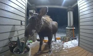 Moose Caught Munching on Plants