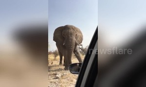 Tourists in terror as angry African elephant charges their car in Namibia