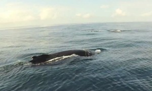 Paddleboarder has incredible encounter with Humpback Whale