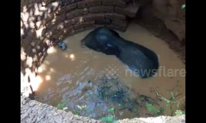 Young elephant climbs out of 35-feet well after dramatic rescue