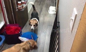 Beagle won't walk around bucket