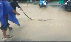 Indonesian locals evacuate 3 metres snake during heavy flooding