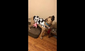 Dog in cow costume moos instead of howls