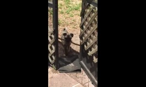 Frustrated pug just can't fit stick through door