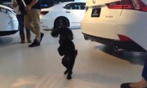 Dog prefers walking on two legs like a human