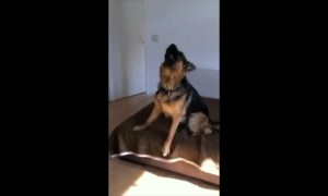 German Shepherd sings along to owner's harmonica