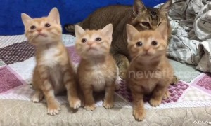 Cute kittens bob their heads in unison when following a cat teaser