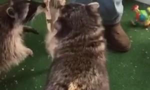 Raccoon Shoots Some Hoops