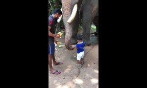 Celebrity elephant is gentle giant as he lets toddler feed him bananas