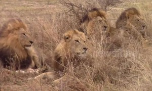 Rare sighting of five male lions spotted together in Kruger National Park