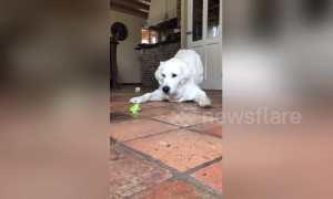 This golden retriever is baffled and scared by a tiny wind-up toy