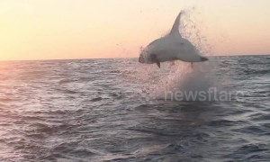 Acrobatic great white shark performs a breaching backflip near tourists
