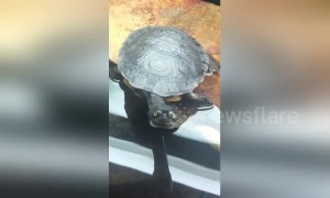 Turtle reigns supreme in staring contest with camera
