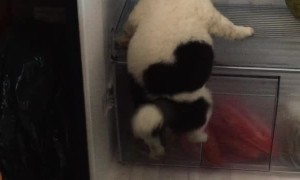 Puppy Cools Off in Fridge