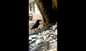 Greedy crow demands bigger treat from fish vendor
