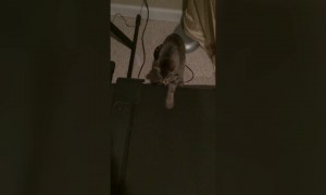 Adorable Kitten Tries to Understand Treadmill
