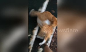 Roly-poly: Overweight cat takes a funny tumble down the stairs