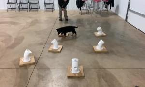 K9 Puppy in Training
