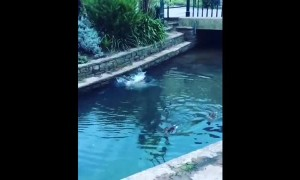 French Bulldog immediately regrets jumping into pond to chase ducks