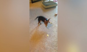 Dog Faces off with Potato Chip