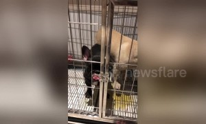 Smart French bulldog uses tongue to open cage door