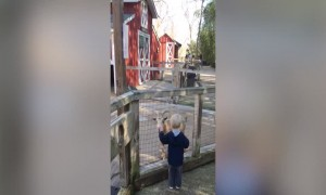 Toddler Startled by Funny Goat