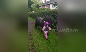 Three-year-old takes pony for a walk