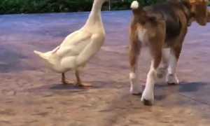 Dog and Duck are Best of Friends