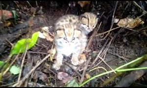 Cute moment tiny leopard cub tries - and fails - to let out a mighty roar