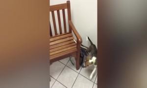 Puppy Keeps Following his own Leash – LOL