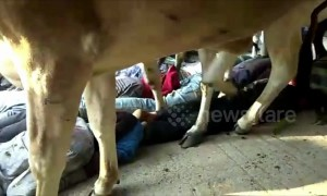 Watch villagers in India get trampled by herd of cows for Diwali
