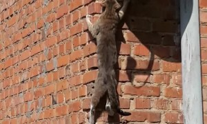 Climber Cat Scales Wall