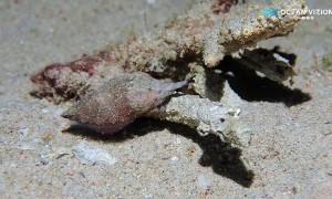Cuttlefish Walking on the Sand