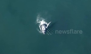 Stunning! Drone footage shows humpback mother and calf breaching