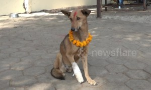 Stray dogs are fed and cared for during Nepalese 'Day of the Dog' festival