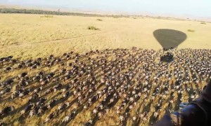 Tourists get stunning view of wildebeest herds from hot air balloon