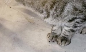 Stray Cat Feeds Himself with Paw