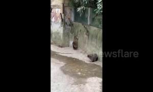 Chubby raccoons can't jump!