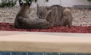 Bobcats Lounge by Backyard Pool