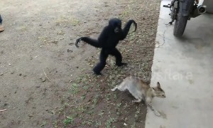 A game of cat and gibbon! Gangly ape just wants to play with kitty